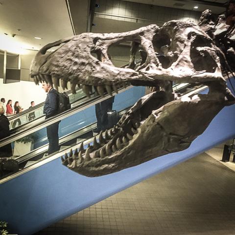 escalatosaurus