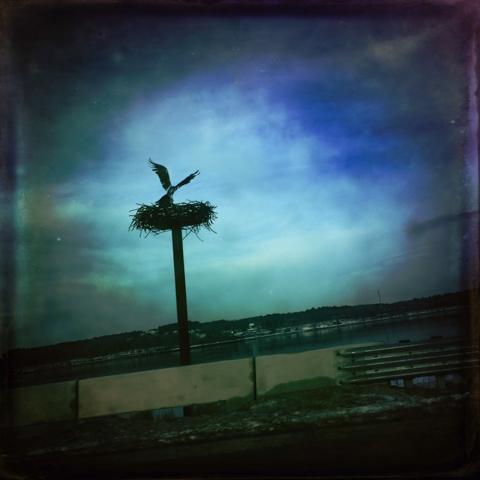 wendy klemperer's nesting osprey, martin's point bridge, portland, maine